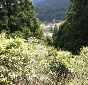 冠山茶の木原